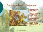 quercus rubra l stejar ro u
