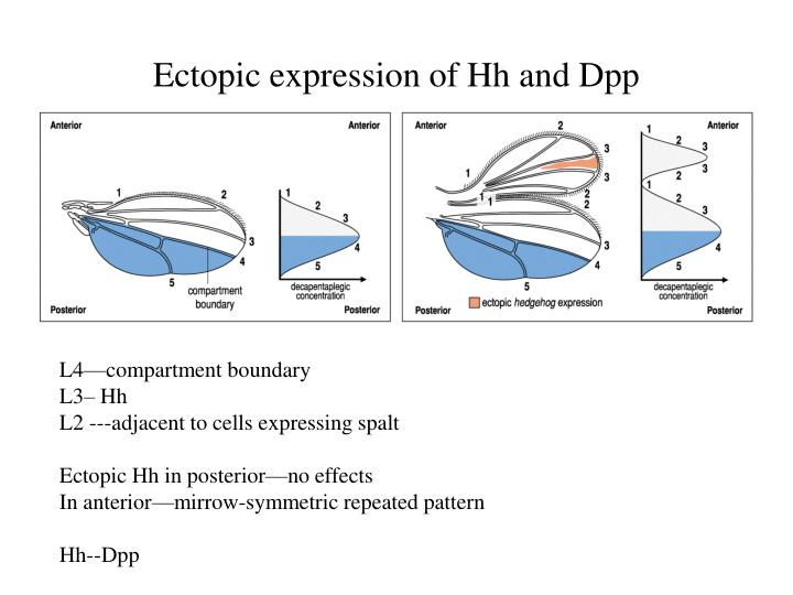 Ectopic expression of Hh and Dpp