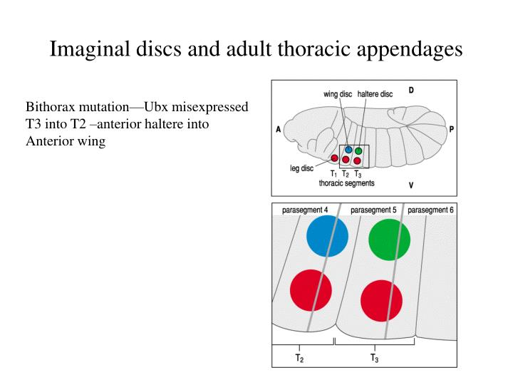 Imaginal discs and adult thoracic appendages