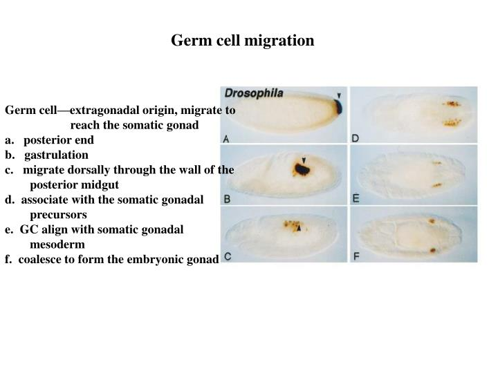 Germ cell migration