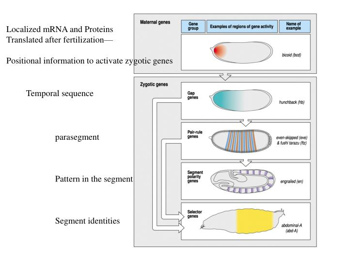 Localized mRNA and Proteins