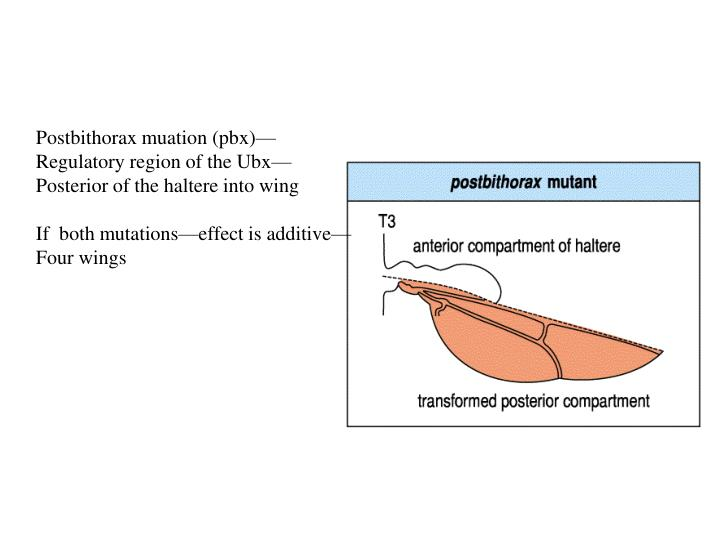 Postbithorax muation (pbx)—
