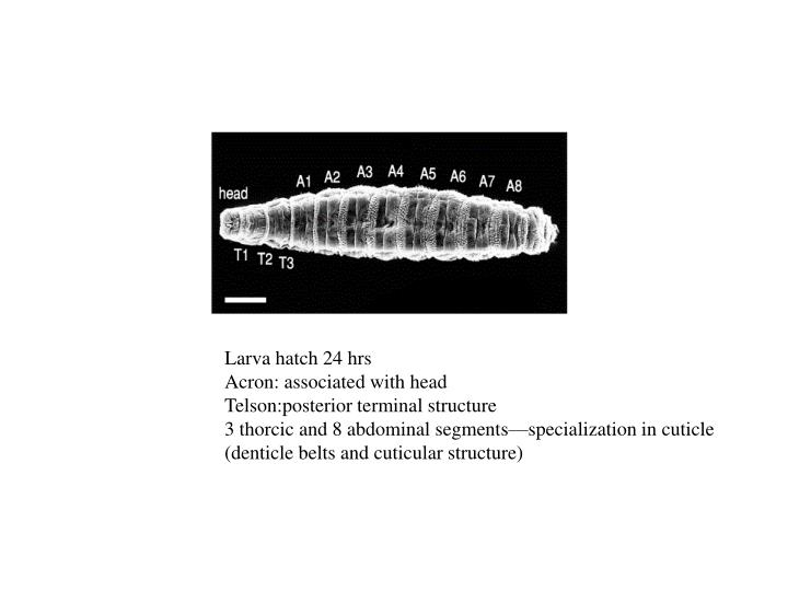 Larva hatch 24 hrs