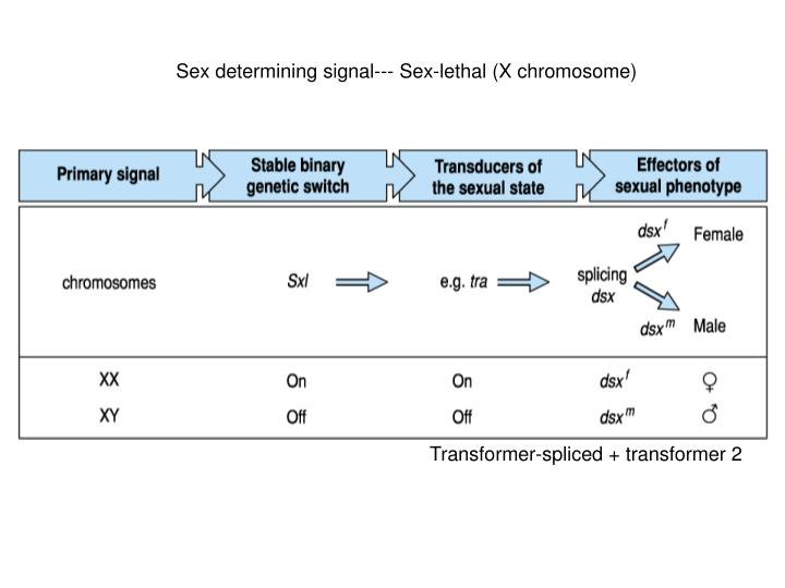 Sex determining signal--- Sex-lethal (X chromosome)