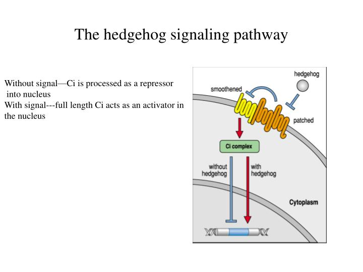 The hedgehog signaling pathway