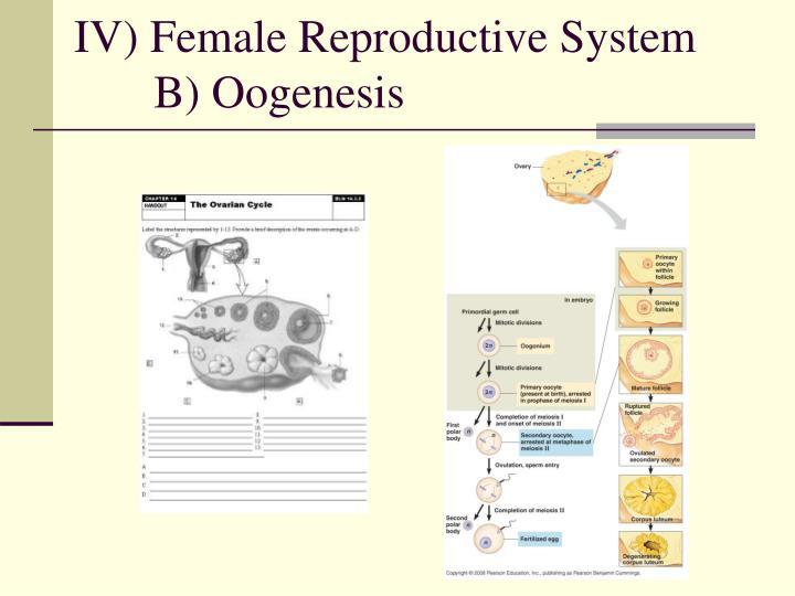 IV) Female