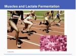 muscles and lactate fermentation