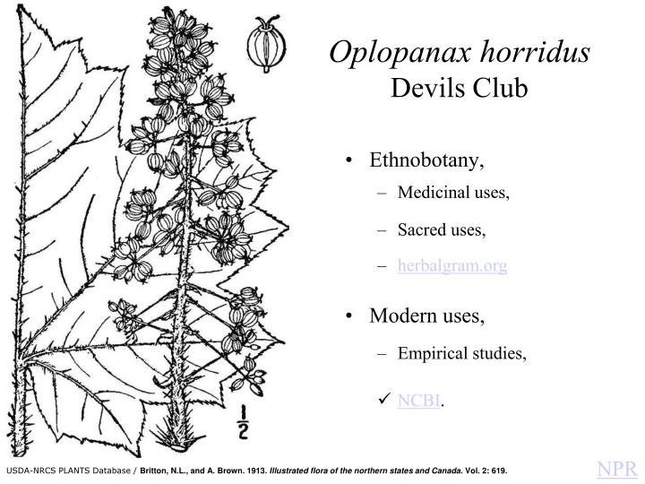 Oplopanax horridus devils club