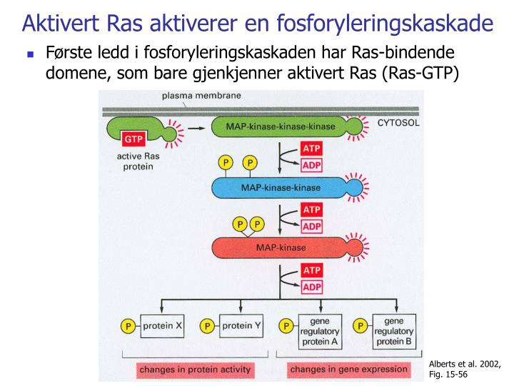 Aktivert Ras aktiverer en fosforyleringskaskade
