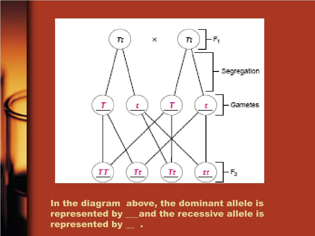 In the diagram  above, the dominant allele is represented by ___and the recessive allele is represented by __