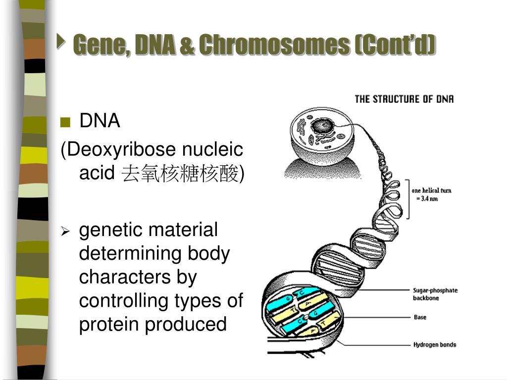 Gene, DNA & Chromosomes (Cont'd)