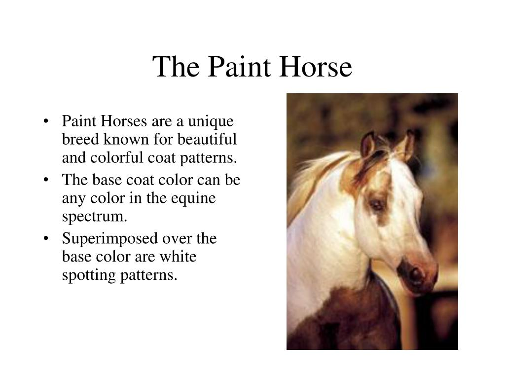 Paint Horses are a unique breed known for beautiful and colorful coat patterns.