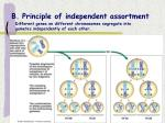 b principle of independent assortment