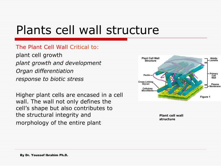 plants cell wall structure n.
