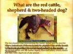 what are the red cattle shepherd two headed dog