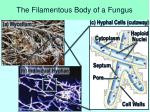 the filamentous body of a fungus