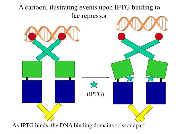 A cartoon, ilustrating events upon IPTG binding to lac repressor