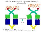 a cartoon ilustrating events upon iptg binding to lac repressor