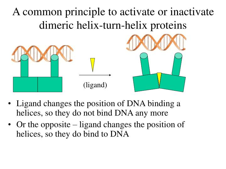 A common principle to activate or inactivate dimeric helix-turn-helix proteins
