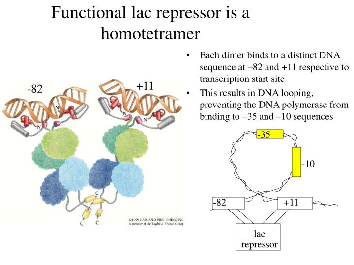 Functional lac repressor is a homotetramer
