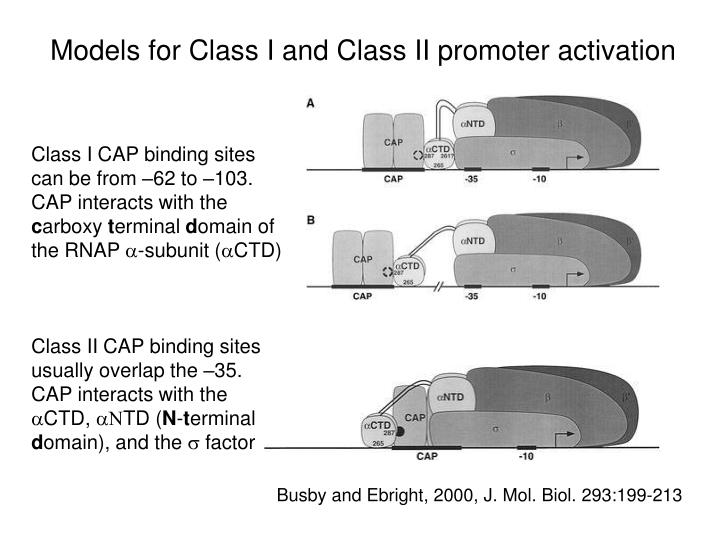 Models for Class I and Class II promoter activation