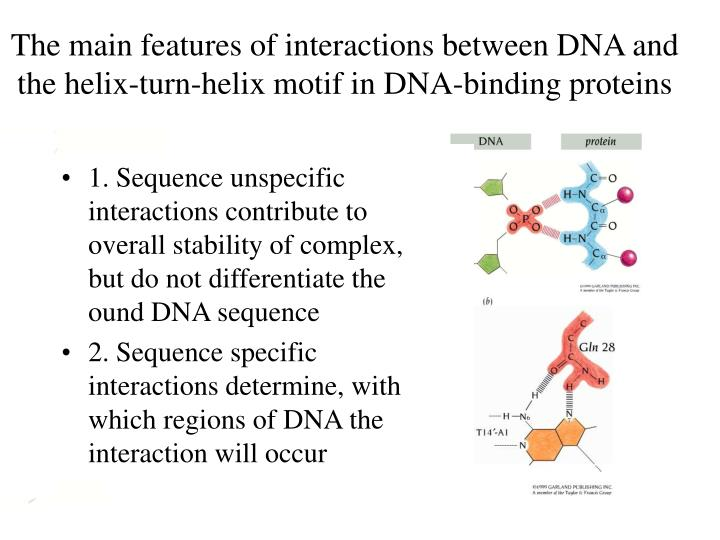 The main features of interactions between DNA and the helix-turn-helix motif in DNA-binding proteins