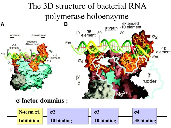The 3D structure of bacterial RNA polymerase holoenzyme