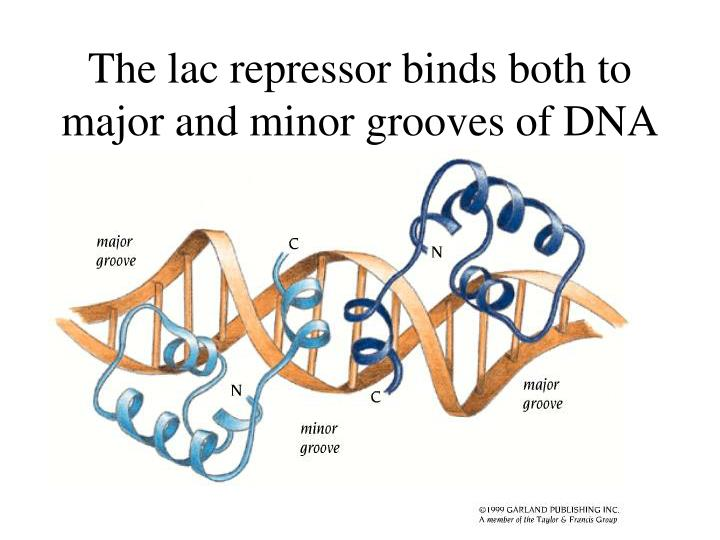 The lac repressor binds both to major and minor grooves of DNA
