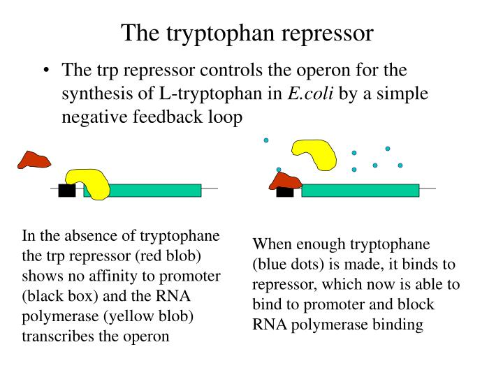 In the absence of tryptophane the trp repressor (red blob) shows no affinity to promoter (black box) and the RNA polymerase (yellow blob) transcribes the operon