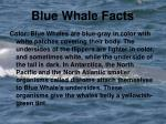 blue whale facts1