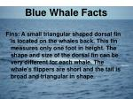 blue whale facts3