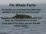 fin whale facts2