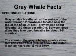 gray whale facts2