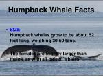 humpback whale facts1