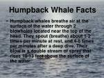 humpback whale facts10