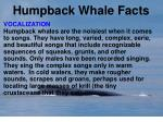 humpback whale facts11