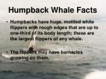 humpback whale facts4