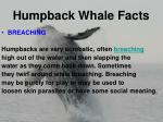 humpback whale facts7