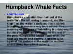 humpback whale facts9