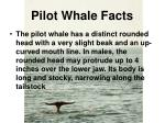 pilot whale facts