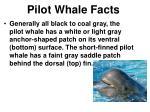 pilot whale facts1