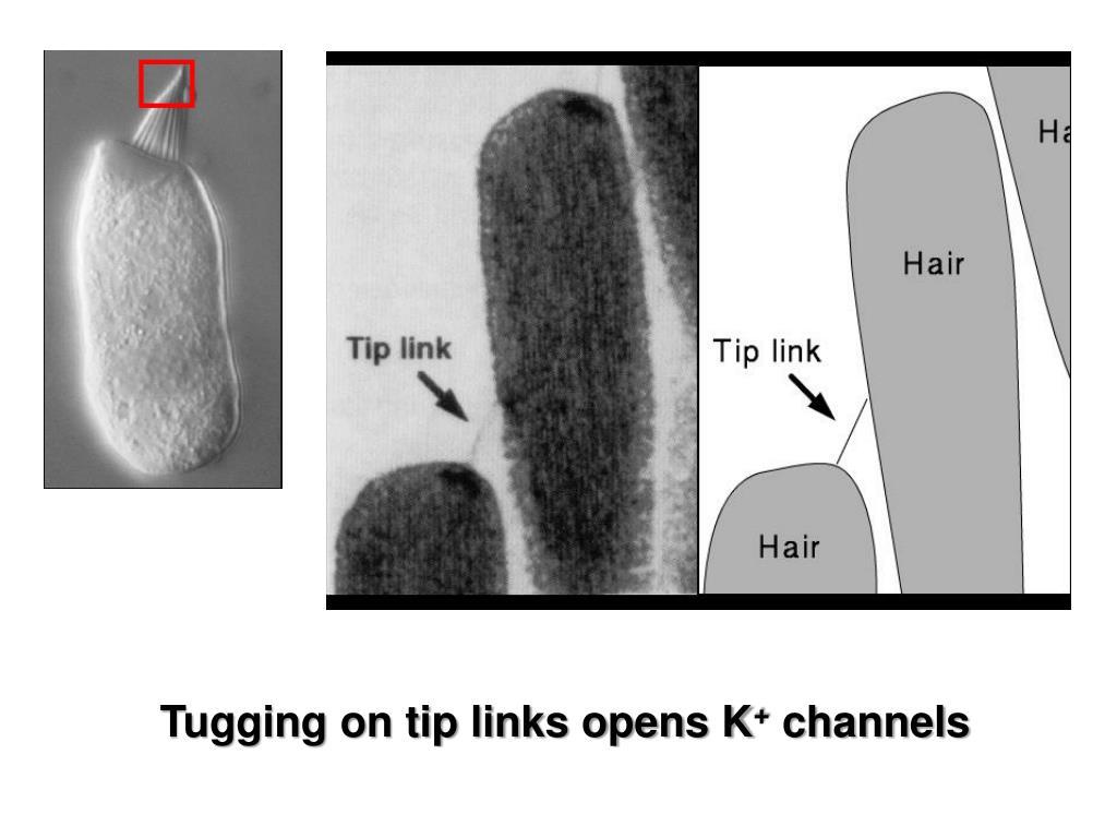 Tugging on tip links opens K