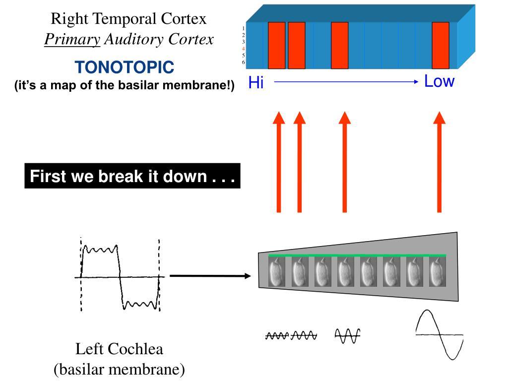 Right Temporal Cortex