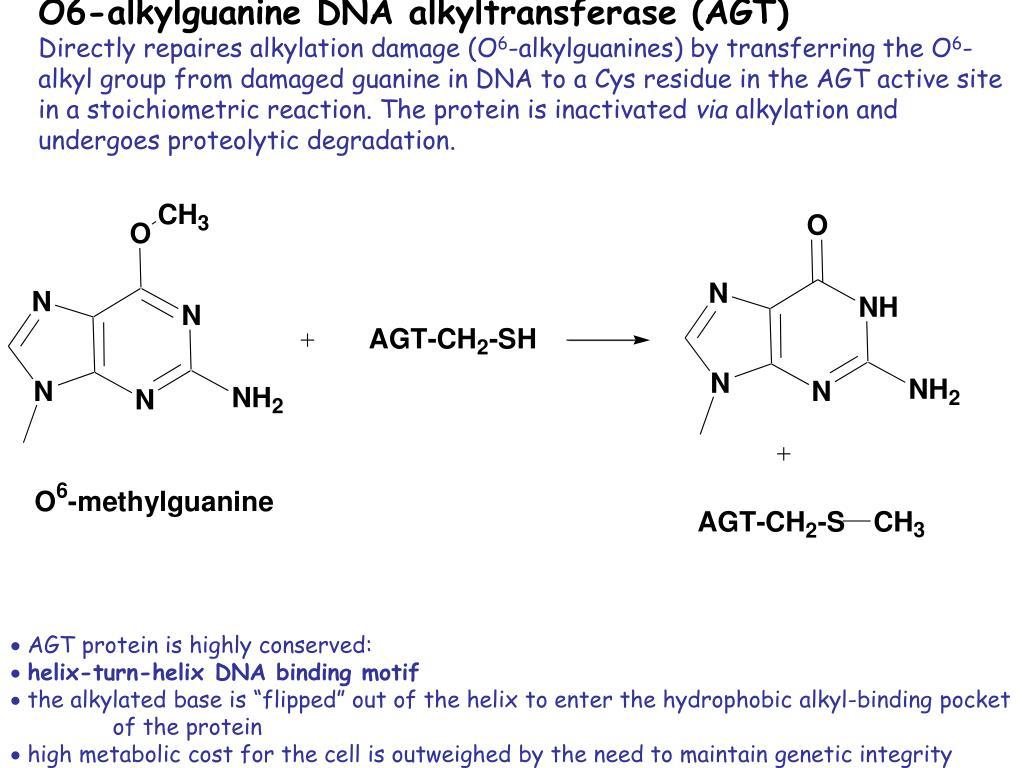 O6-alkylguanine DNA alkyltransferase (AGT)