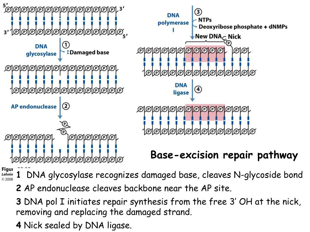 Base-excision repair pathway