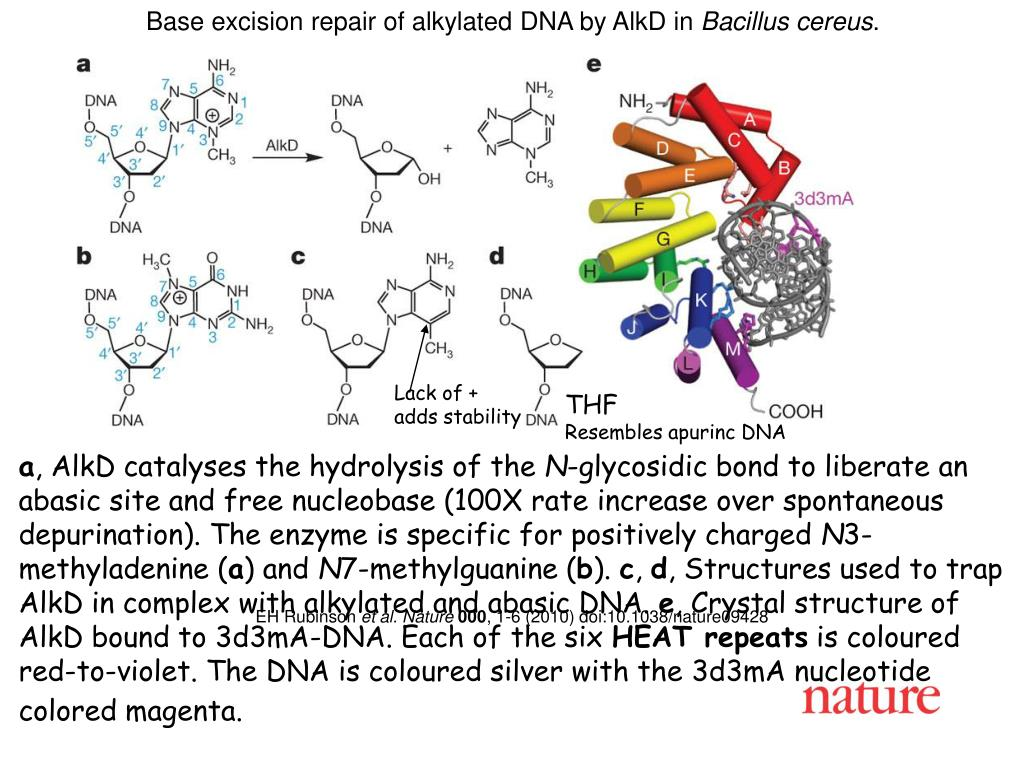 Base excision repair of alkylated DNA by AlkD in