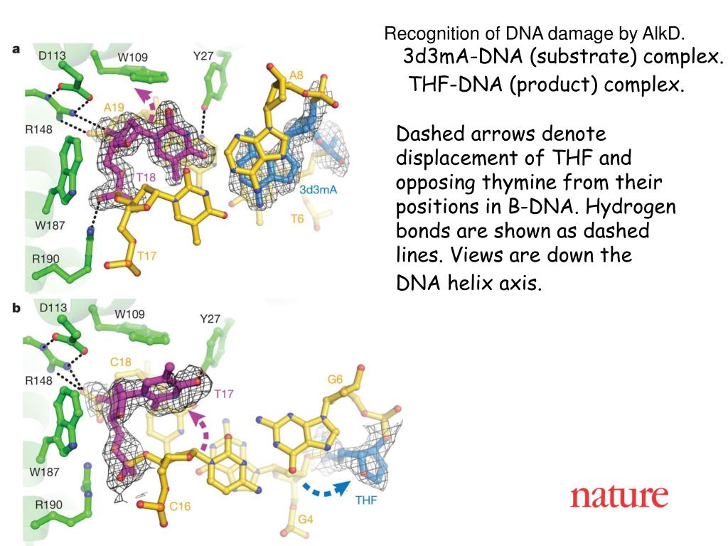 Recognition of DNA damage by AlkD.