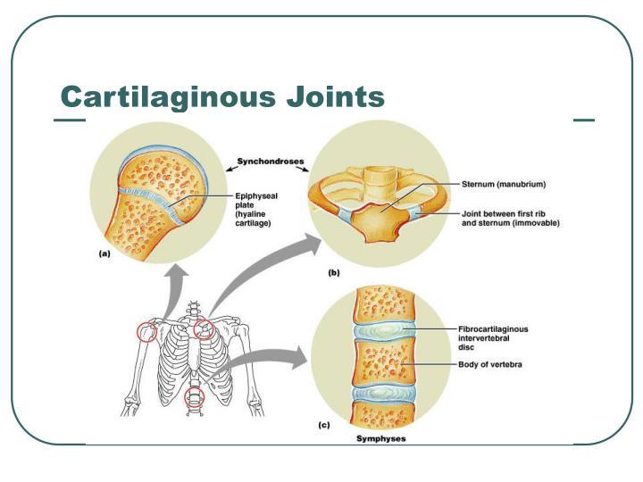 Cartilaginous joints related keywords cartilaginous for Cartilaginous fish examples