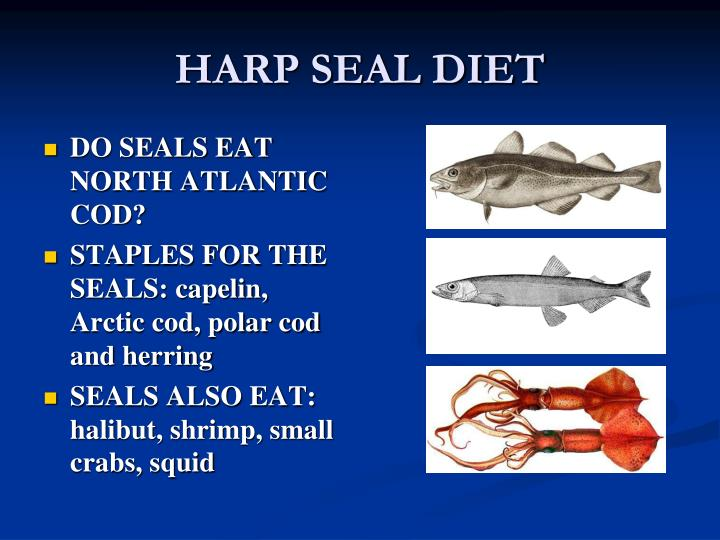 Ppt Harp Seals And The Canadian Harp Seal Hunt