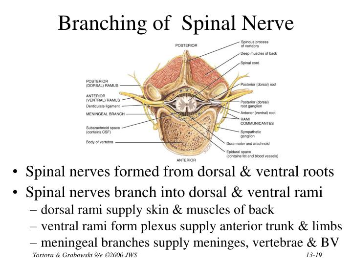 Branching of  Spinal Nerve